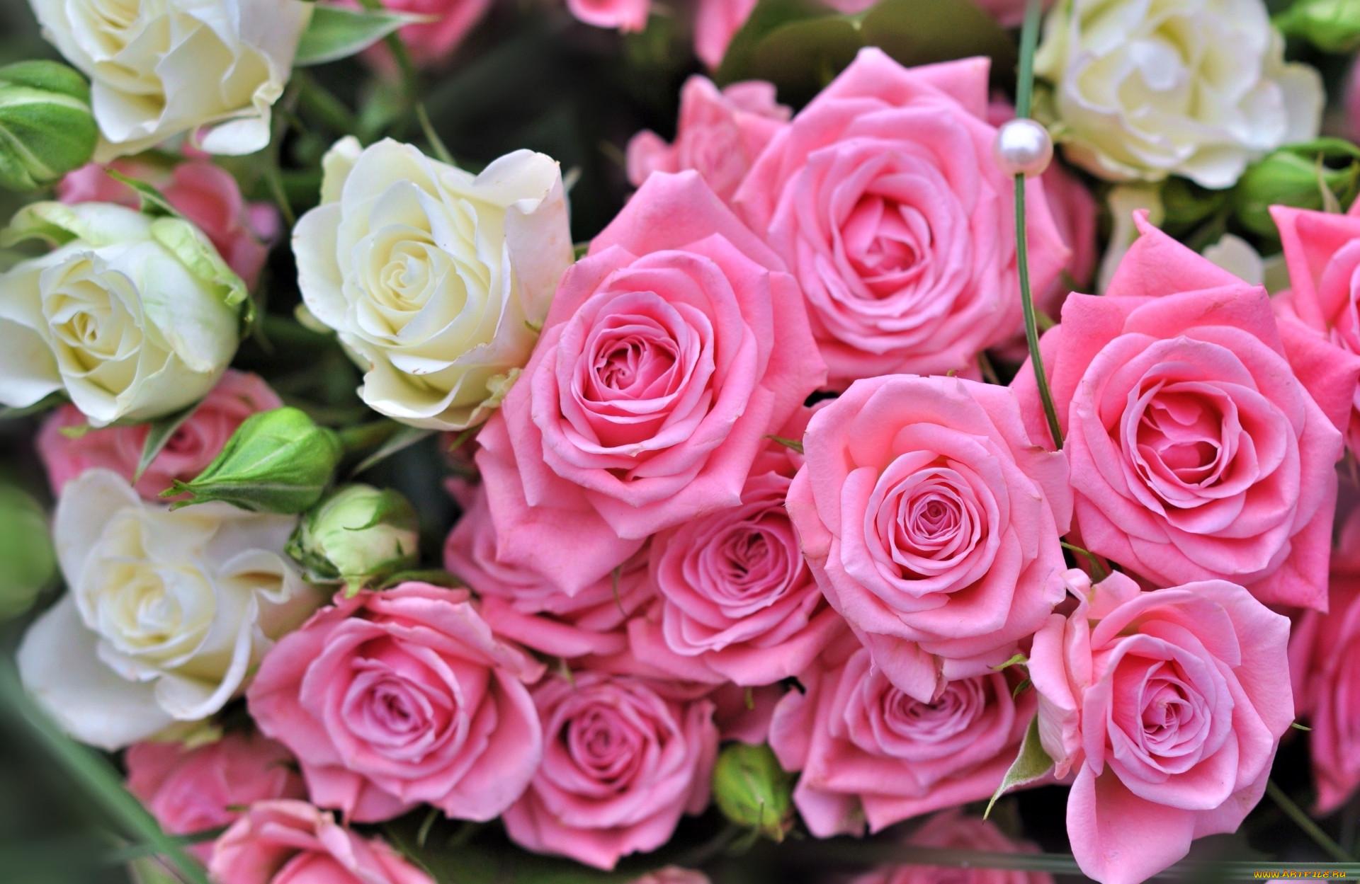 Розовые розы большое фото